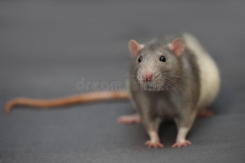 家养的鼠画象在灰色背景的 免版税库存照片