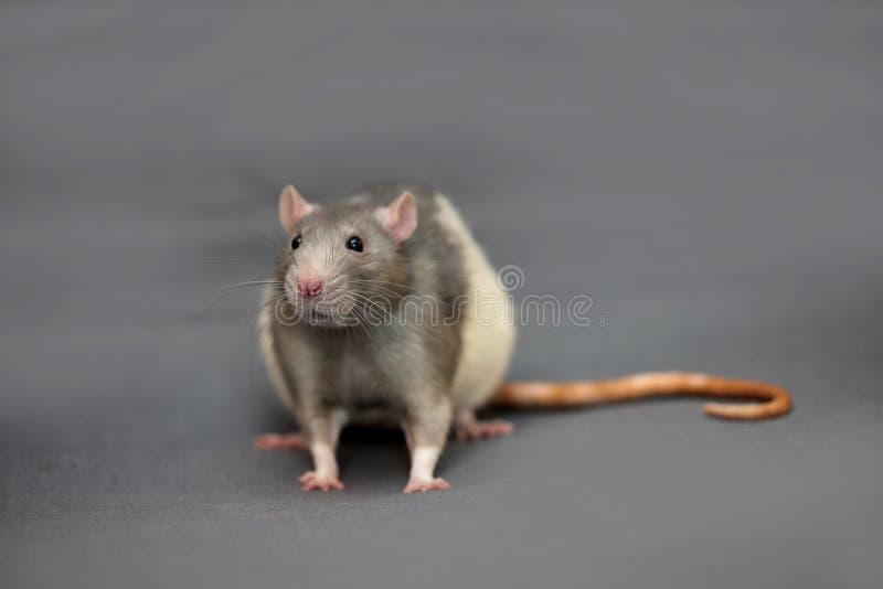 家养的鼠画象在灰色背景的 图库摄影
