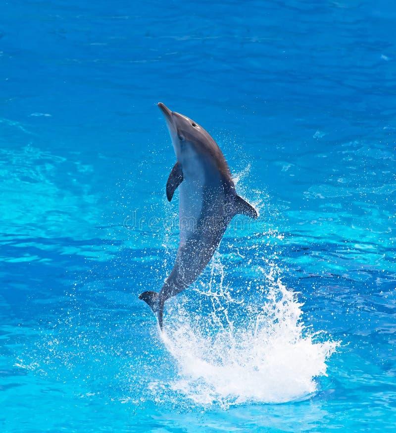 宽吻海豚 库存照片