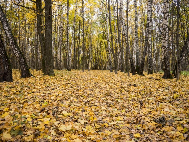 宽土胡同在秋天森林里包围与桦树 库存照片