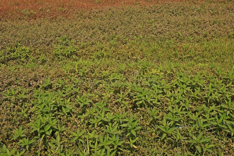 宽广的事假杂草大批出没在农业生产区域 图库摄影