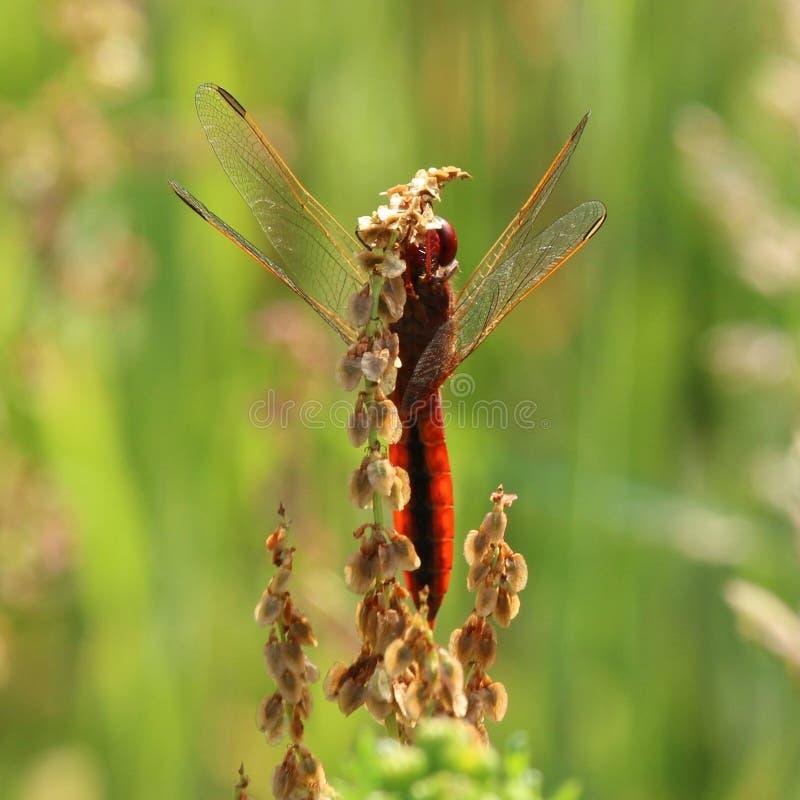 宽广的猩红色蜻蜓 库存图片