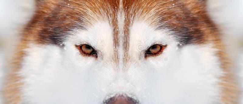 宽纯血统红色和白色狗多壳的特写镜头冬天画象 库存图片