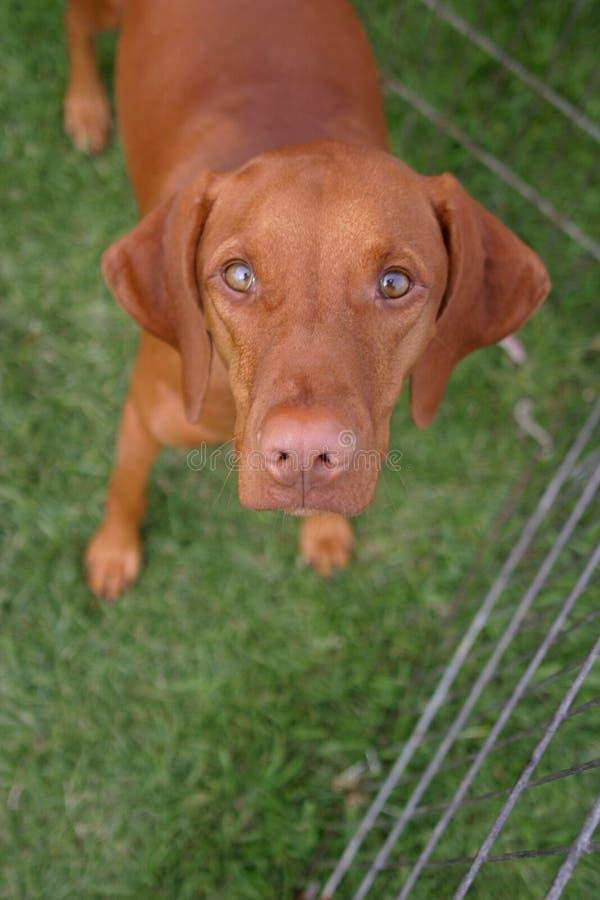 宽被注视的犬 图库摄影