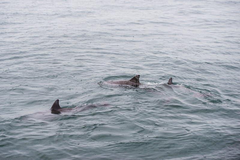 宽吻海豚小组 免版税库存图片