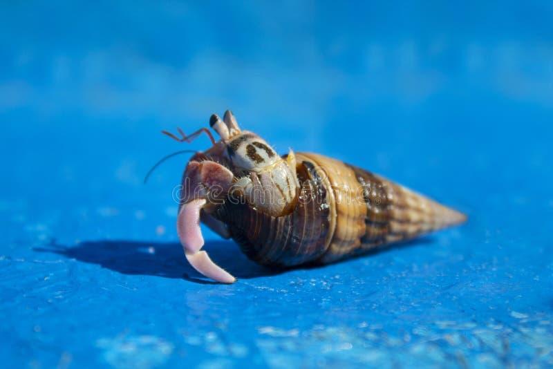 寄居蟹,珀勒德布尔海滩,尼尔海岛,安达曼群岛,印度 图库摄影