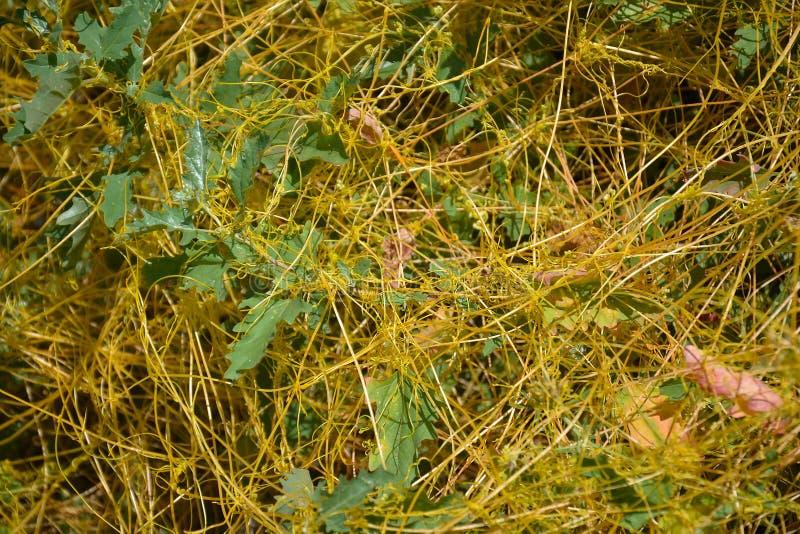 寄生植物 库存图片