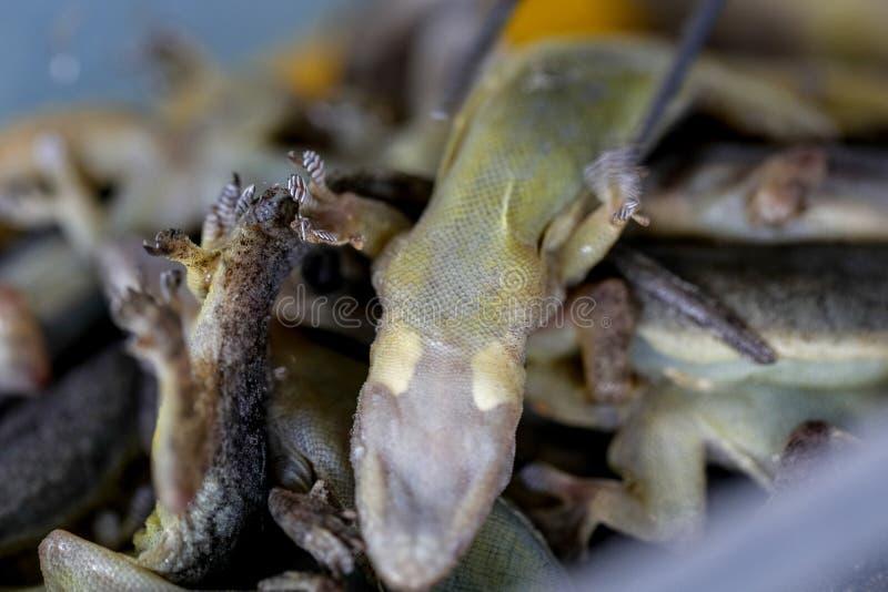 寄生生物的研究在Hemidactylus sp的 在实验室 免版税库存图片
