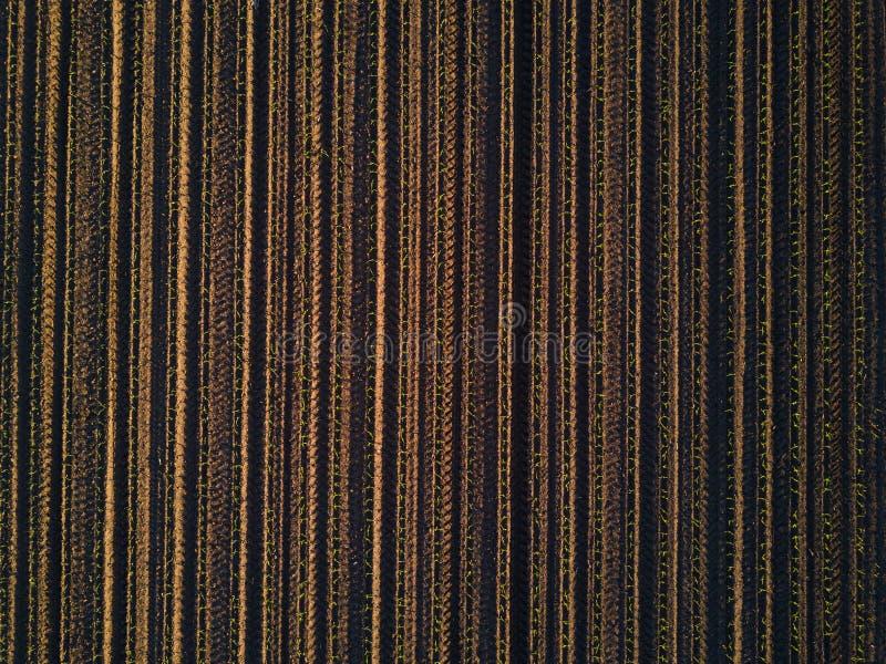 寄生虫pov培养了玉米玉米庄稼领域顶视图 免版税库存图片
