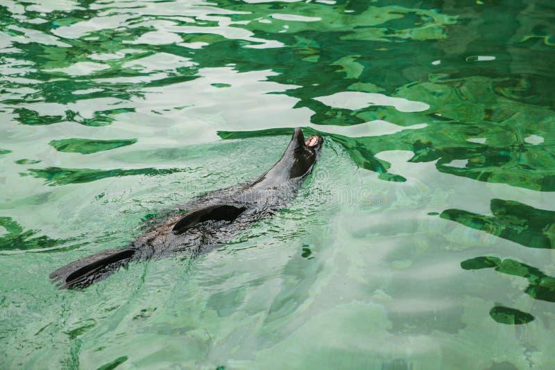 密封 哺乳动物或封印游泳 动物或一只野生动物在水中 库存照片