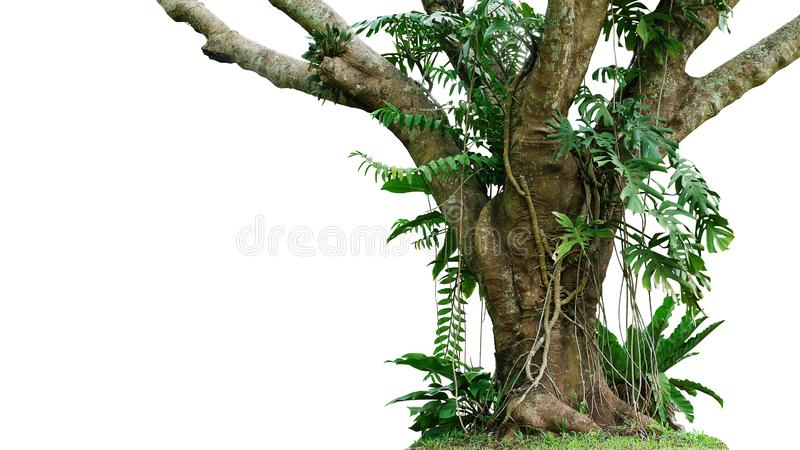 密林与攀登Monstera Monstera deliciosa,鸟的巢蕨、爱树木的人和森林兰花绿色叶子的树干 免版税库存照片