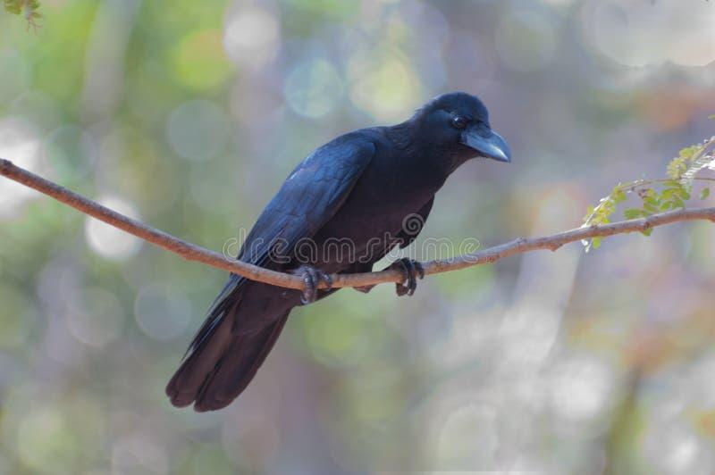 密林乌鸦在西高止山脉,印度Bondla国家公园  库存照片