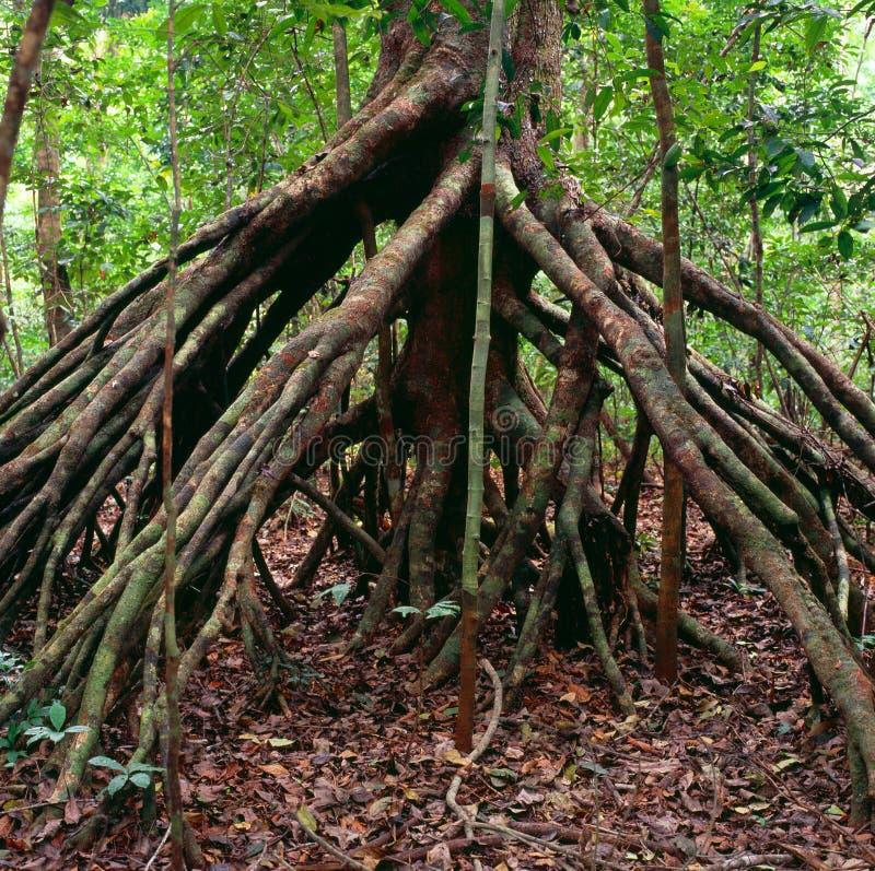 密林在加蓬 免版税库存照片