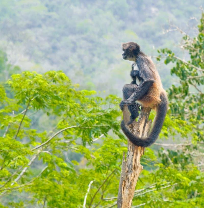 密林猴子松鼠猴属sciureus 图库摄影