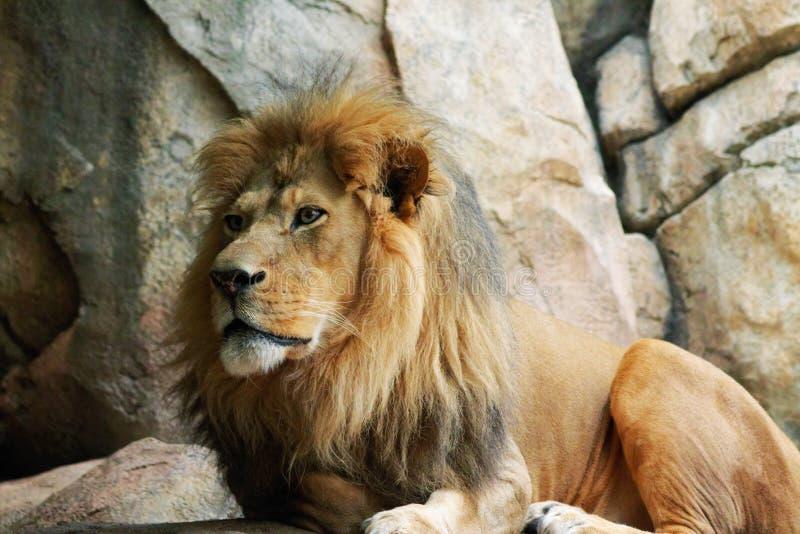 密林的国王 免版税库存照片