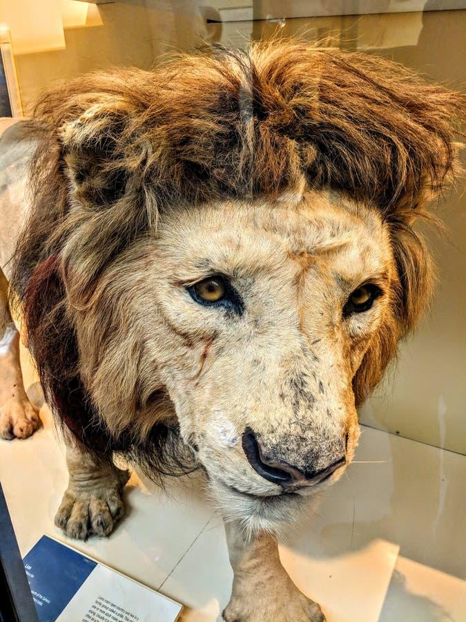 密林的狮子国王身材模型  图库摄影