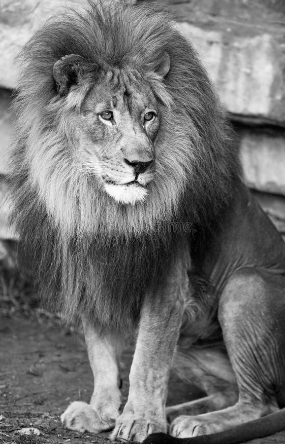 密林的狮子国王 库存图片