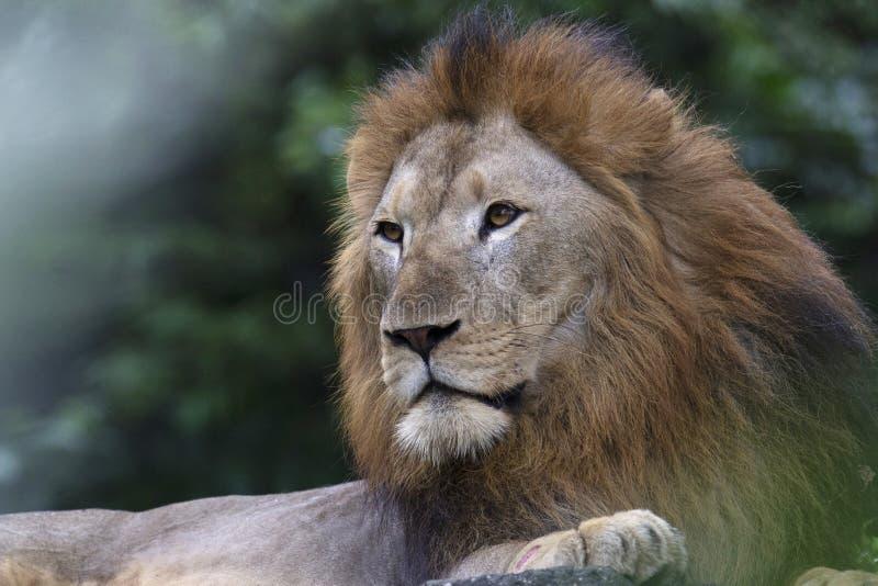 密林的狮子,豹属利奥利奥,新加坡动物园,新加坡国王,亚洲 免版税库存照片