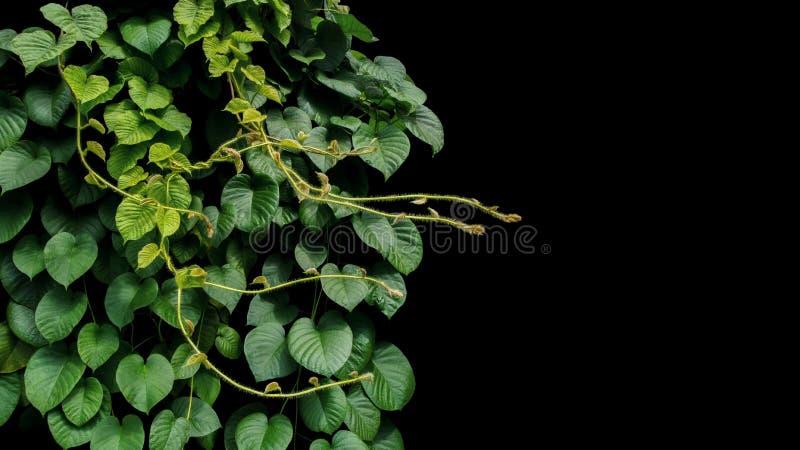 密林藤藤本植物热带rainfores心形的绿色叶子  库存图片