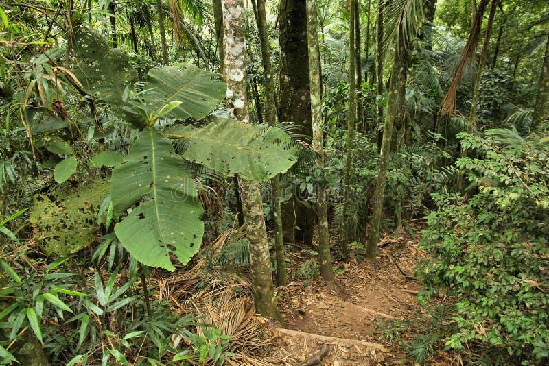密林足迹,巴西 免版税库存照片