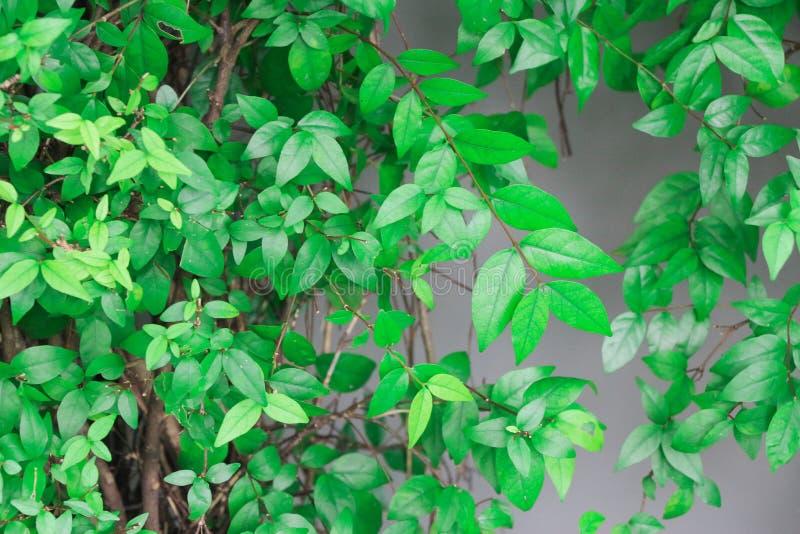 密林绿叶可能提供新鲜的氧气夏令时以有机叶子 室外密林绿叶是i的豪华的植被 免版税库存图片