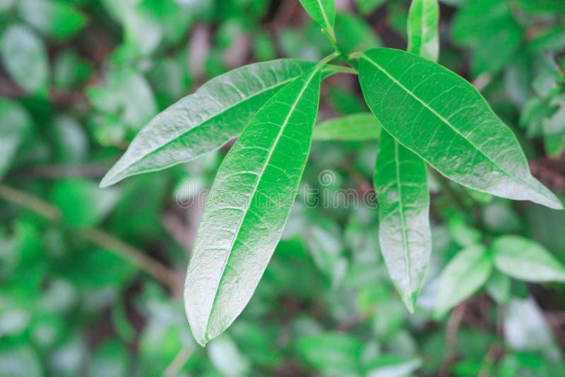 密林绿叶可以用于设计家庭菜园和提供新鲜空气和氧气 这狂放和豪华的密林绿叶是伟大的 免版税库存图片