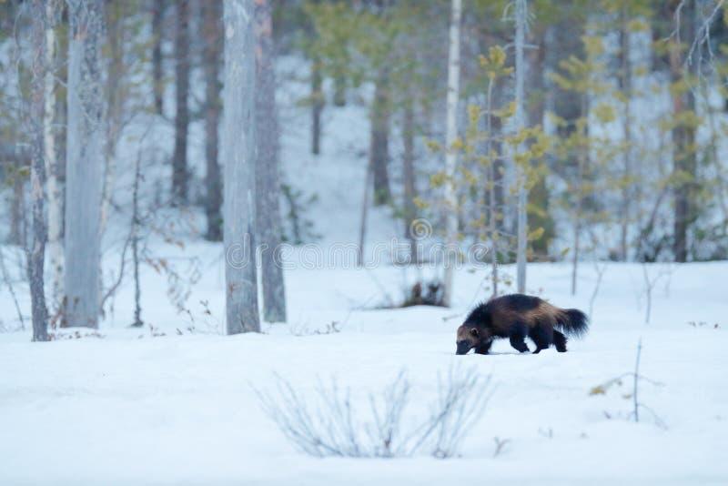 密歇根本地人在与雪的冬天 在芬兰taiga的连续罕见的哺乳动物 从自然的野生生物场面 从在欧洲北部的布朗动物 免版税库存照片