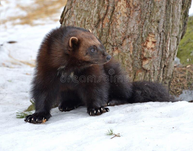 密歇根本地人狼獾属狼獾属在冬天 免版税库存照片
