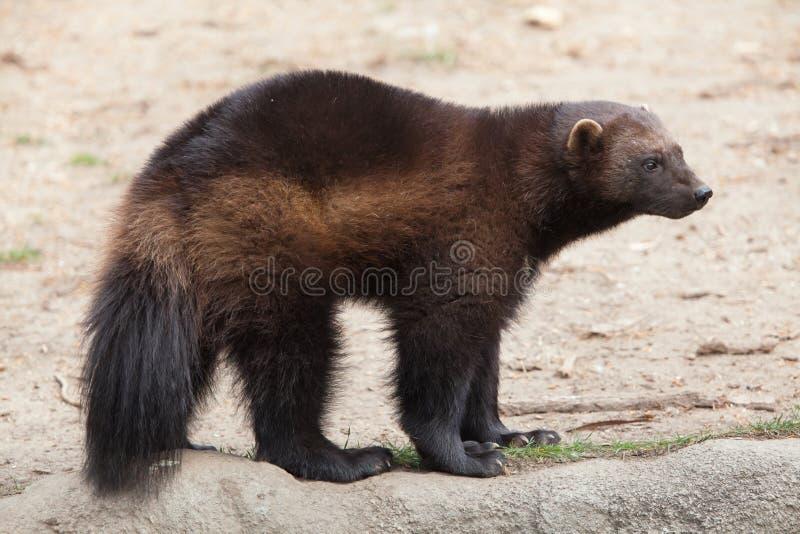 密歇根本地人狼獾属狼獾属 免版税图库摄影