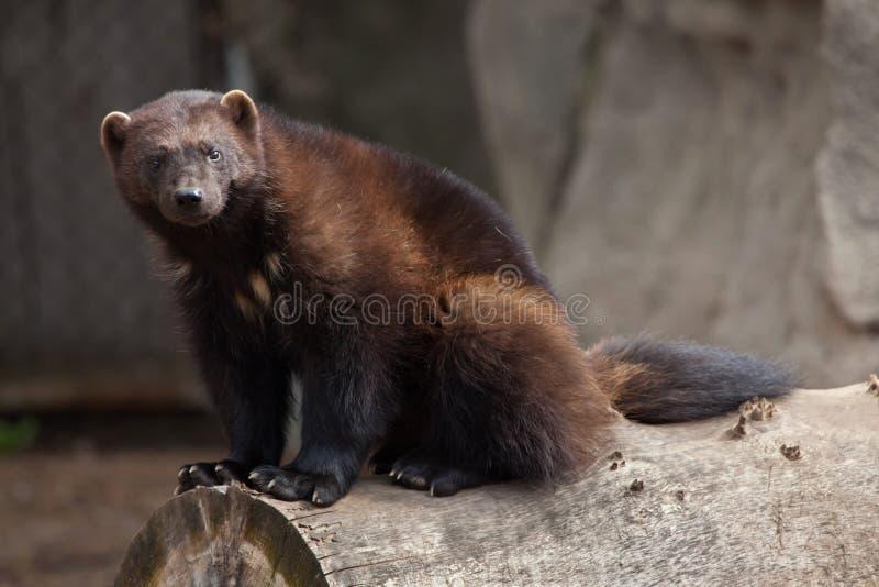 密歇根本地人狼獾属狼獾属 库存图片