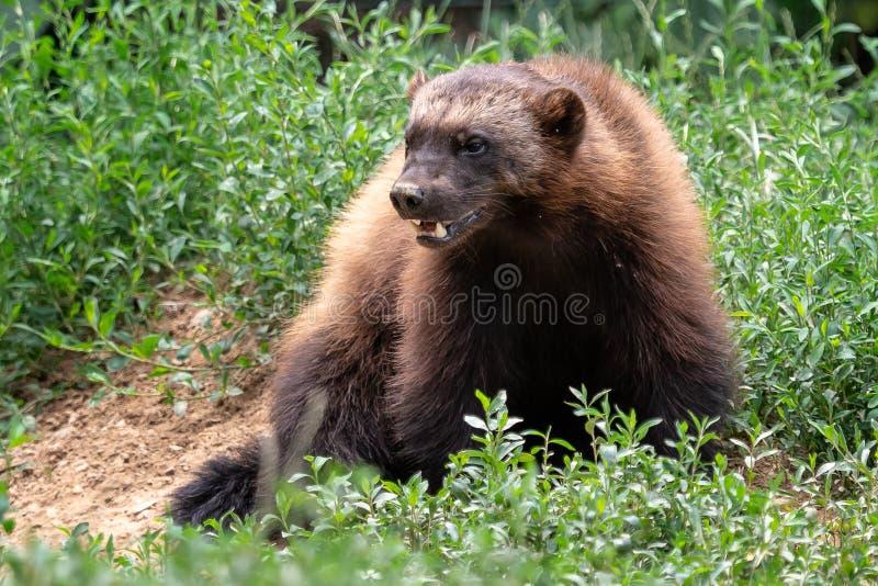 密歇根本地人,狼獾属狼獾属,坐草甸 免版税图库摄影