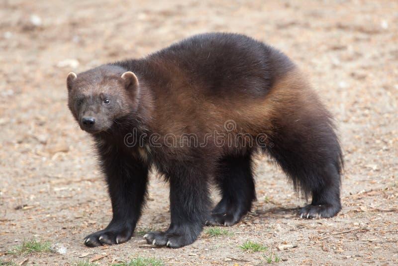 密歇根本地人& x28; 狼獾属gulo& x29; 库存照片