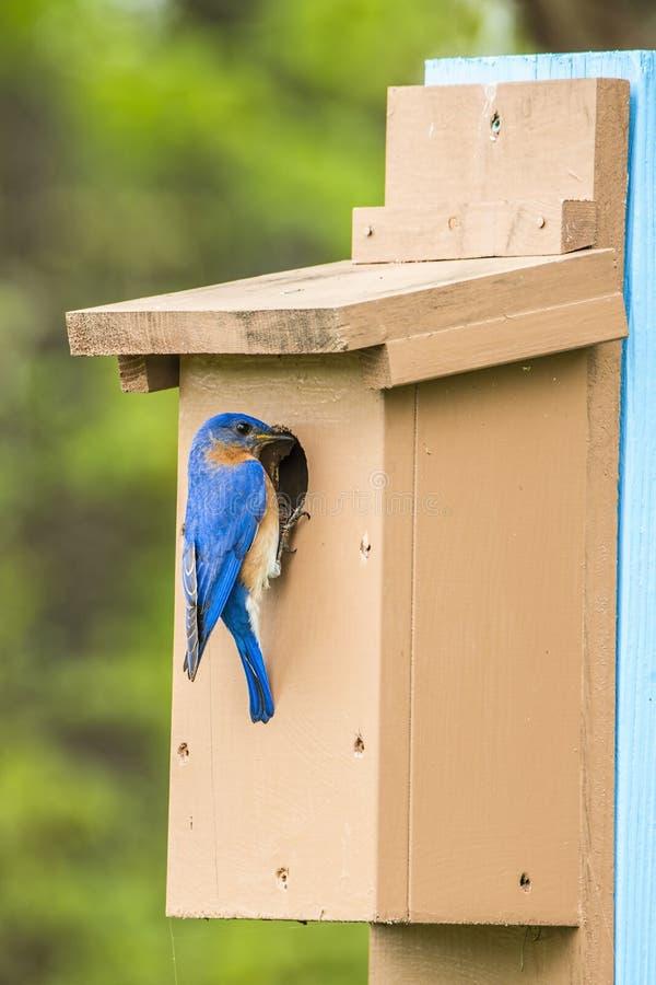 密苏里蓝色鸟 免版税库存图片