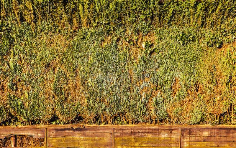 从密集的切除灌木的活墙壁作为背景 免版税库存图片
