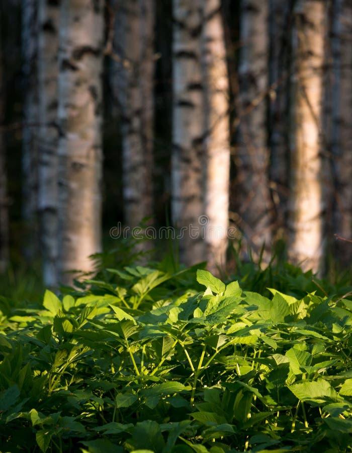 密集的地面长辈野生草本植物在桦树森林里 图库摄影
