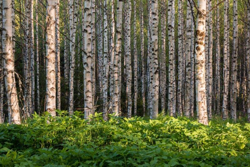 密集的地面长辈野生草本植物在桦树森林里 免版税库存照片