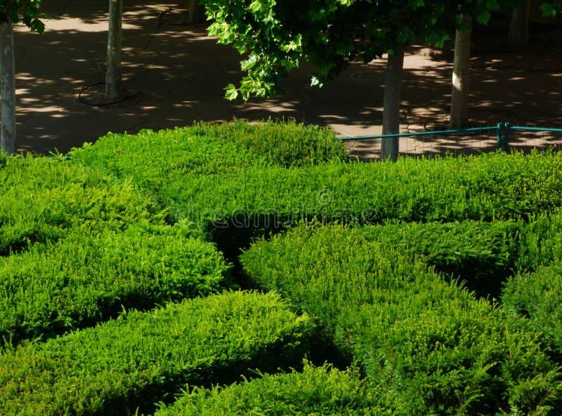 密集的常青在明亮的夏日光的树篱和裁减象迷宫的形状与正式饰物的 免版税库存图片