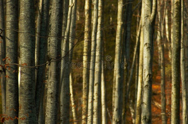 密集的林木 库存图片
