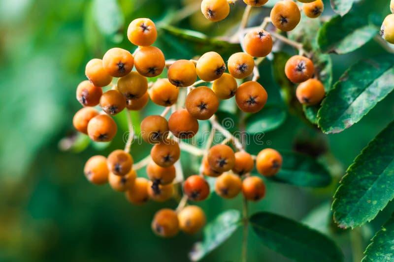 密集的橙色莓果群和山脉灰或者花揪,树,山梨aucuparia的鳍类的叶子 库存照片