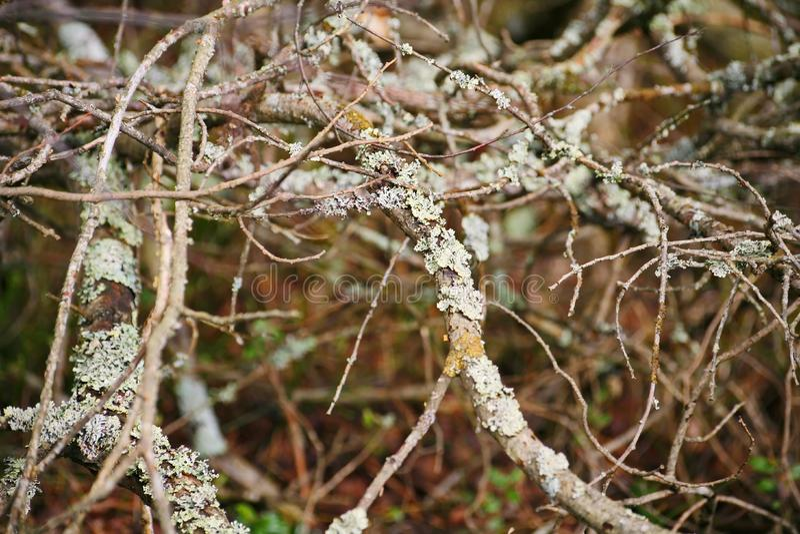 从密集的branches.brushwood的背景 背景美好的草丛横向 如毛刷 下木,草丛,丛林,小灌木林, 免版税库存图片