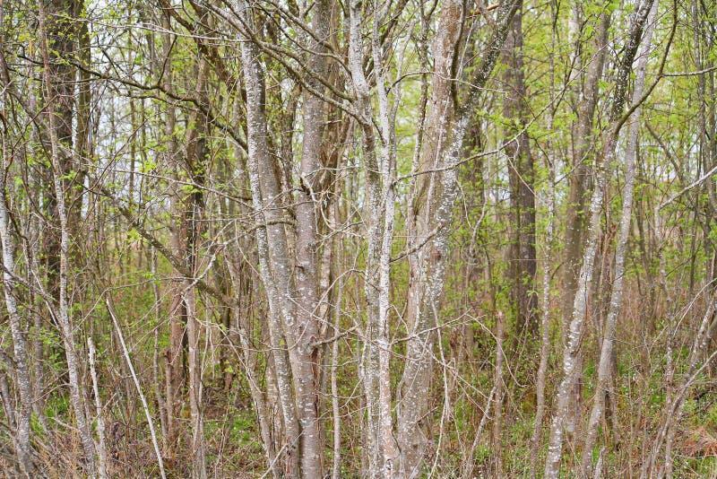 从密集的branches.brushwood的背景 背景美好的草丛横向 如毛刷 图库摄影