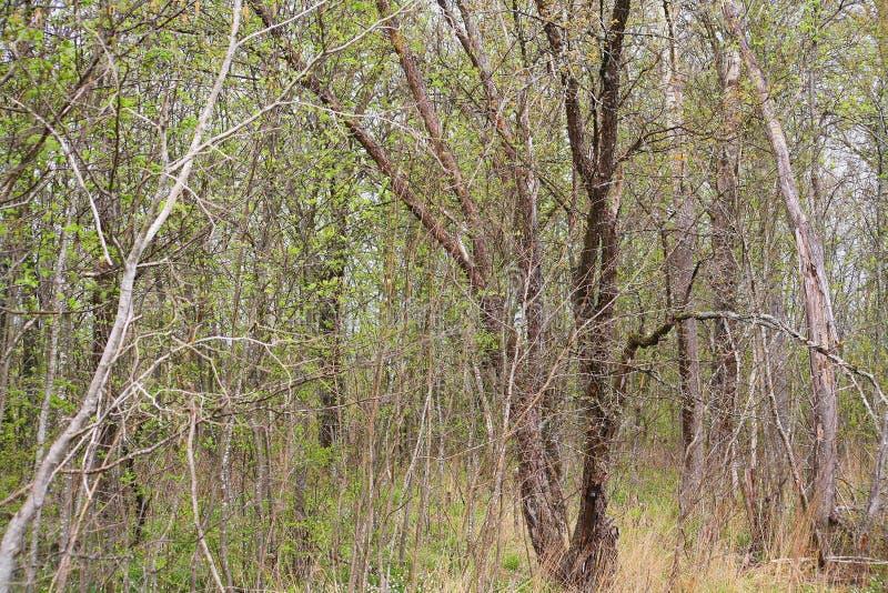 从密集的branches.brushwood的背景 背景美好的草丛横向 如毛刷 免版税图库摄影