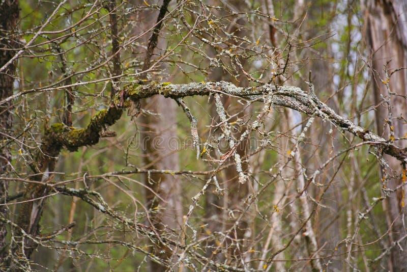 从密集的branches.brushwood的背景 背景美好的草丛横向 如毛刷 库存图片