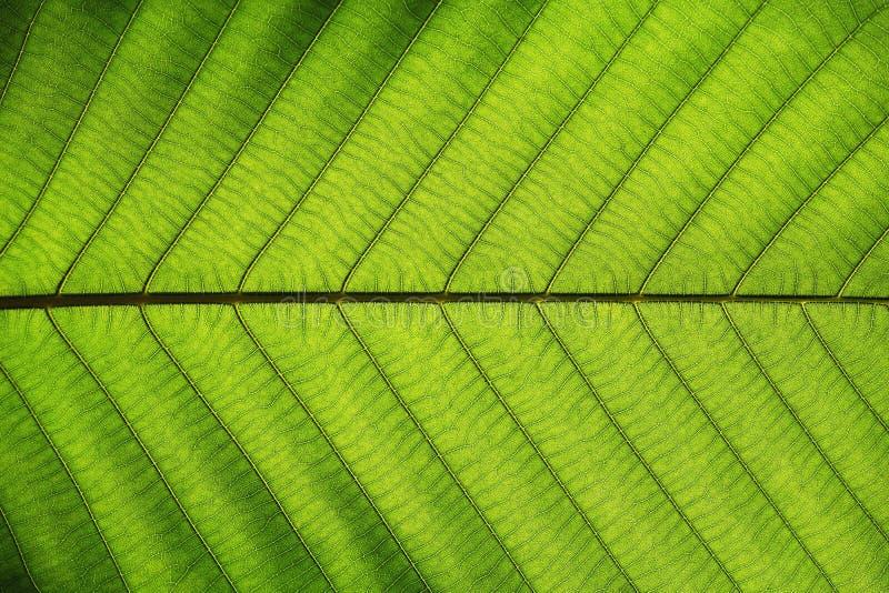 富有的绿色叶子纹理把对称静脉结构,自然纹理概念进行下去 免版税库存照片