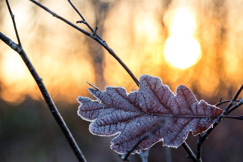 寒冷反对烧太阳的结霜的叶子在日落 免版税库存照片