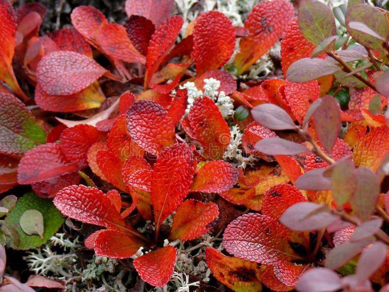 寒带草原厂五颜六色的秋叶在阿拉斯加 库存图片