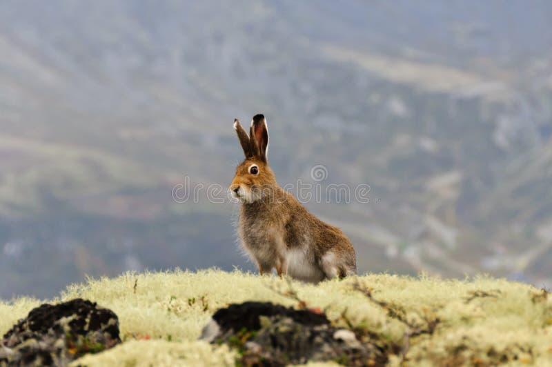 寒带草原野兔 库存图片