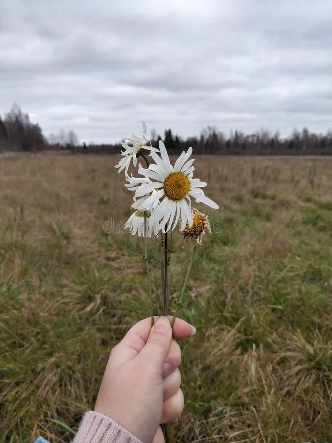 寒秋摘下几朵甘菊花 自然与秋花 免版税库存照片