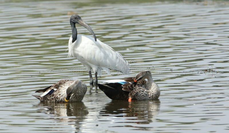 察觉与黑朝向的白色朱鹭的开帐单的鸭子 图库摄影
