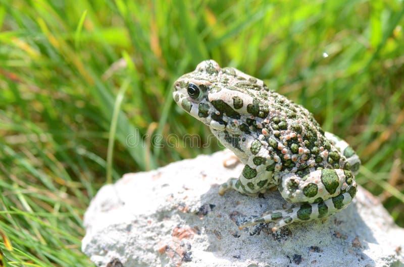 察觉了一只土制蟾蜍坐石头,特写镜头 Bufo bufo 绿色蟾蜍Bufo viridis照片宏指令 免版税图库摄影